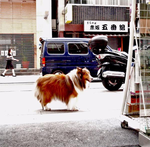 シェットランド・シープドッグ(シェルティ)はお店の看板犬だった「ヒナ」。 写真提供・金松堂書店 西家嗣雄さん